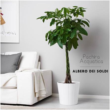 Pachira Acquatica Albero Dei Soldi Vitaletti Home Staging